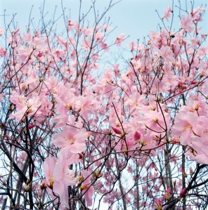 Spring cherry tree Corbis Royalty Free